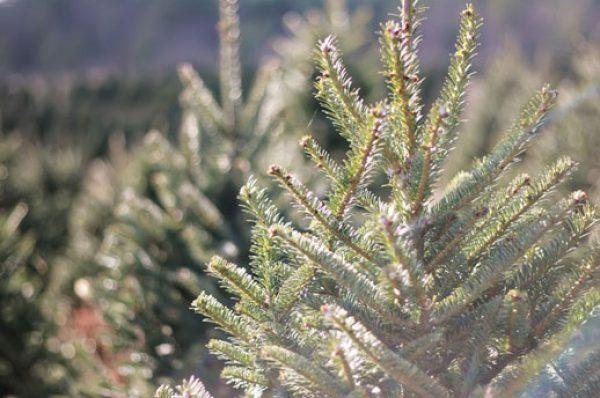 Os explicamos cómo elegir un buen árbol de navidad
