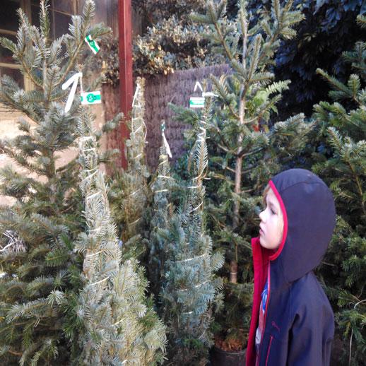 cómo elegir un arbol de navidad familiasActivas (2)